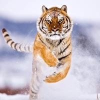 tigru siberian sursa foto wallpapers.free-review dot net