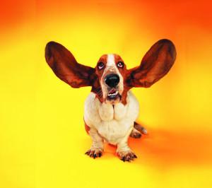 caine cu urechi mari sursa foto flikie punct com