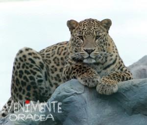 Leopard Grădina Zoologică Oradea Evenimente Oradea Adoptă un animal