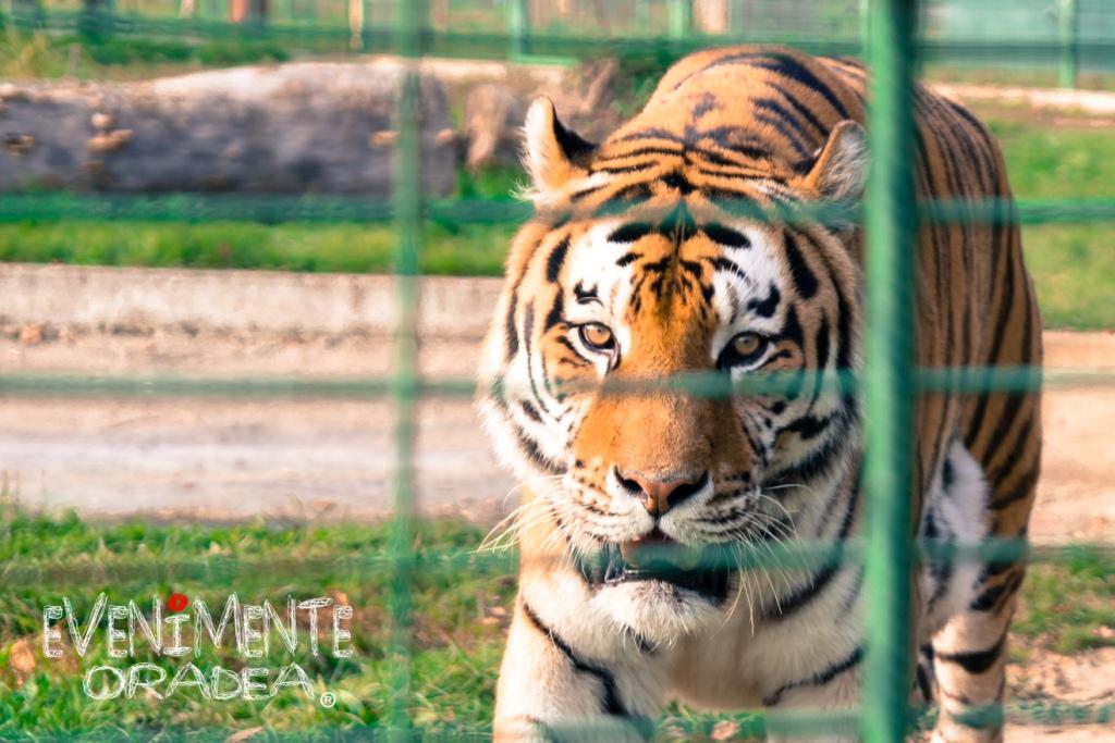 tigru zoo oradea