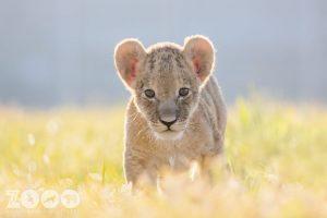 pui de leu african